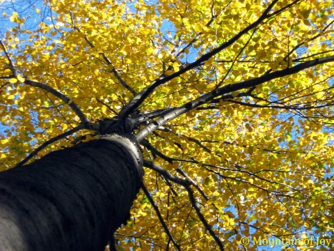 big_yellow tree